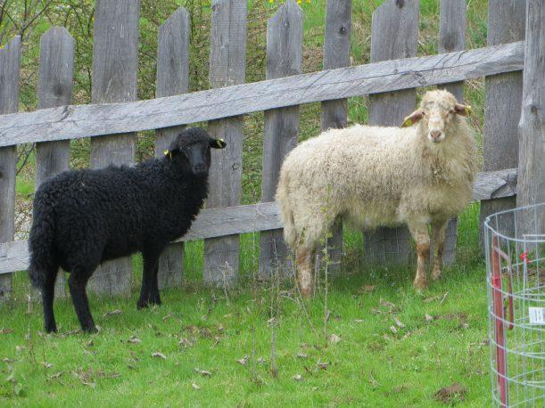 Auch die Schafweide ist wieder hergerichtet