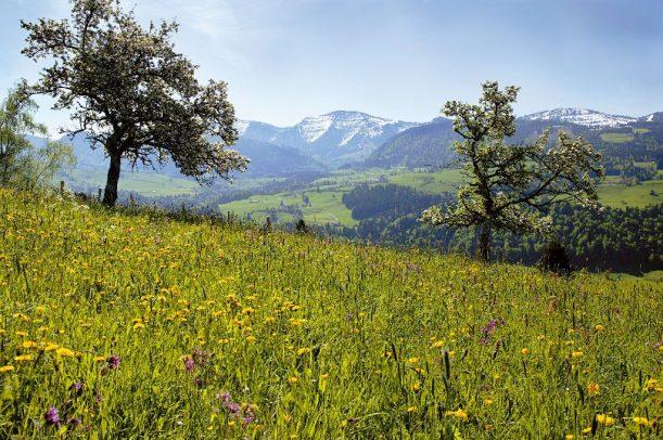 Frühlingswiese mit Blick auf den Berg Hochgrat