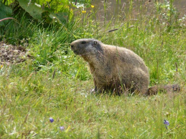 Diese Tiere zählen die Almen der Allgäuer Alpen zu ihrer Heimat