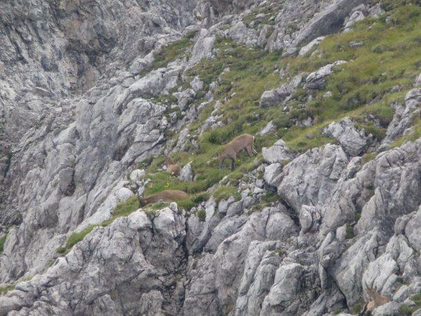 Steinböcke in der Berglandschaft der Allgäuer Alpen