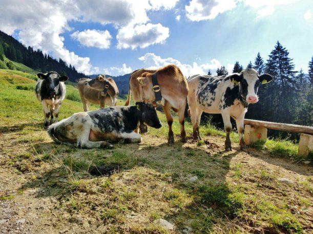 Kühe auf dem Hörner-Panoramaweg