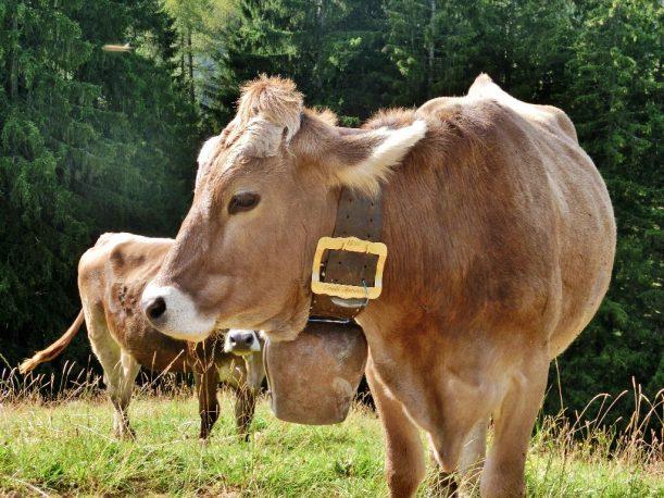 Kuh auf dem Hörner-Panoramaweg