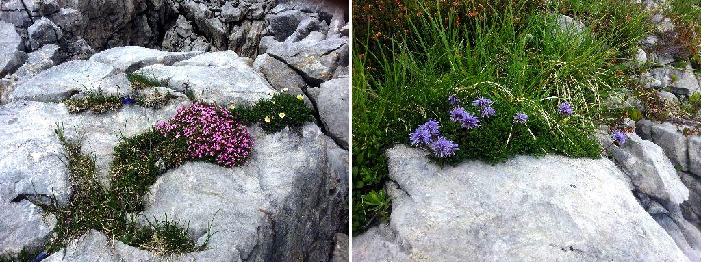 Alpenpflanzen Gottesacker