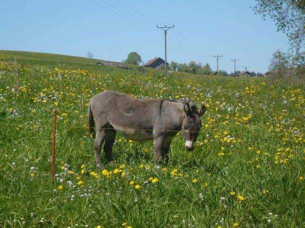 Aussicht mit Esel in den Allgäuer Alpen