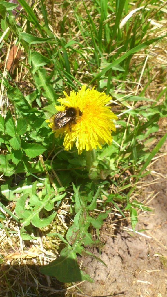 Biene auf Nektarsuche