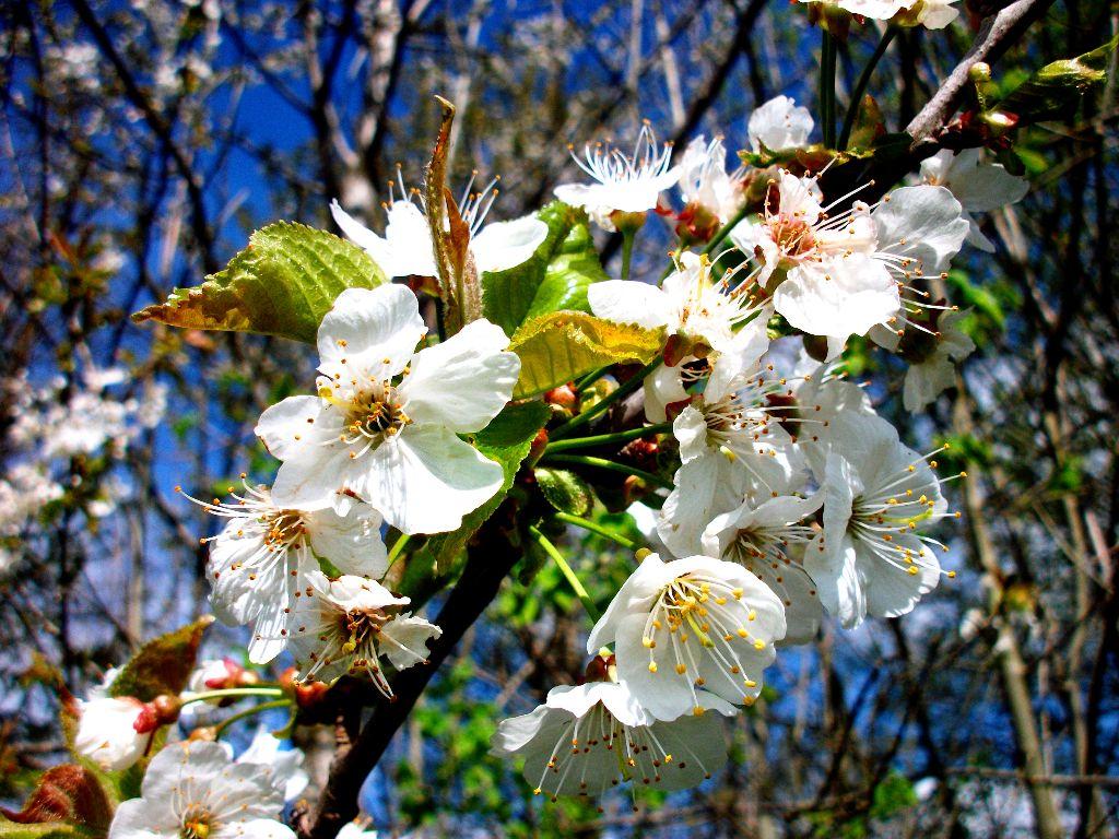 Kirschblüten in den Alpen