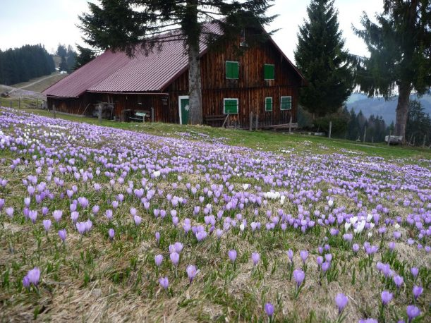 Wildkrokusse an der Hochsiedel-Alpe