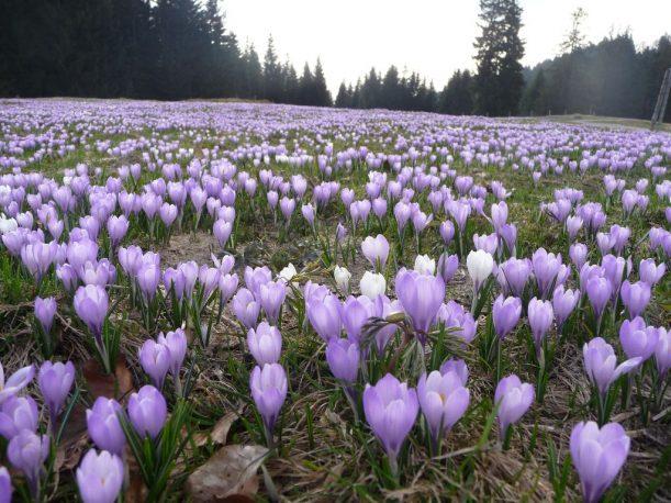 Krokusblüte am Berg Hündle - Allgäu im Frühling