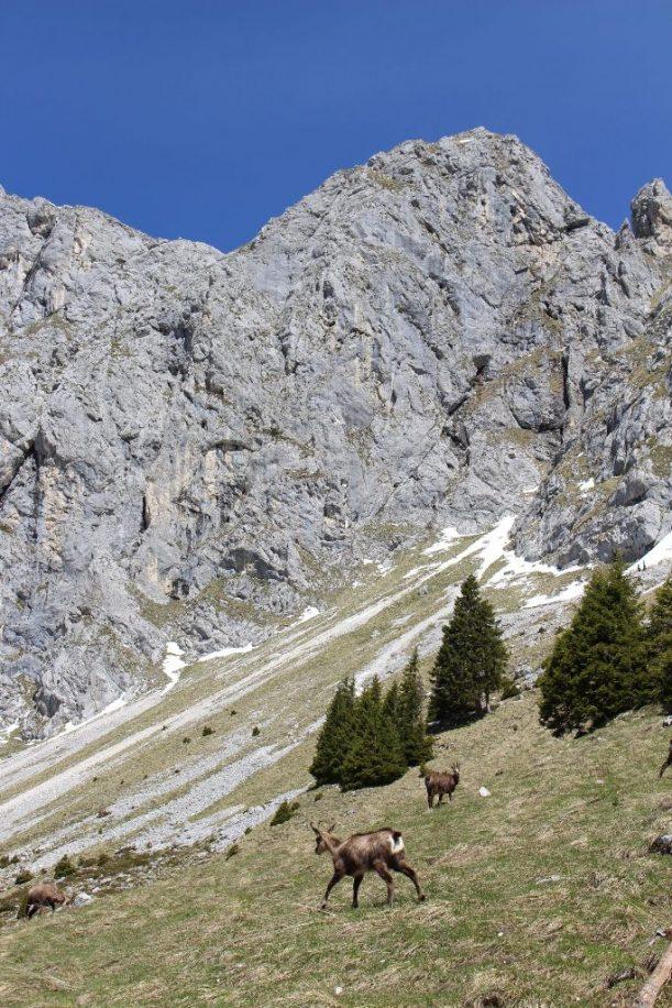 Rote Flüh, Gemsen, Allgäu Alpen, Gamsen, Gams, Gemse
