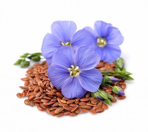 Allgäuer Flachsblüte mit Samen, dem Lein