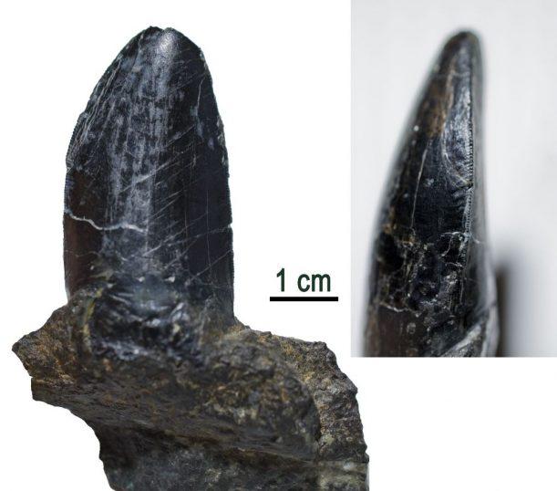 Ticinosuchus_Zahn_3