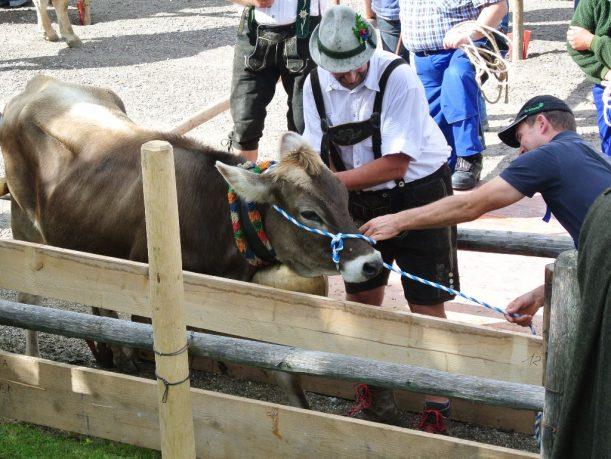 Den Kühen werden einzeln die Schellen abgenommen