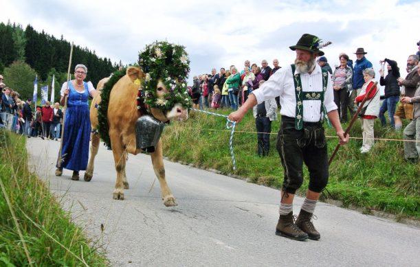 Viehscheid in den Allgäuer Alpen - das Kranzrind geht voran