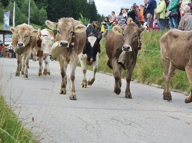 Die Kühe werden den Berg hinunter getrieben