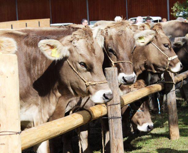 Die Kühe warte auf ihren Bauern